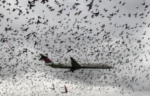 aves2-300x192 Avião cruza 'nuvem' de pássaros durante pouso nos EUA
