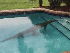 crocodilo-florida-300x225 Morador da Flórida encontra crocodilo na piscina de casa