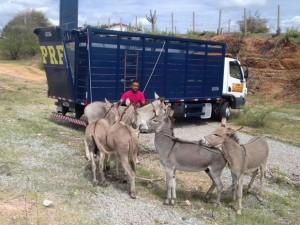 animais_apreendidos_prf-300x225 PRF recolhe 393 animais em rodovias da PB em menos de 3 meses em 2016