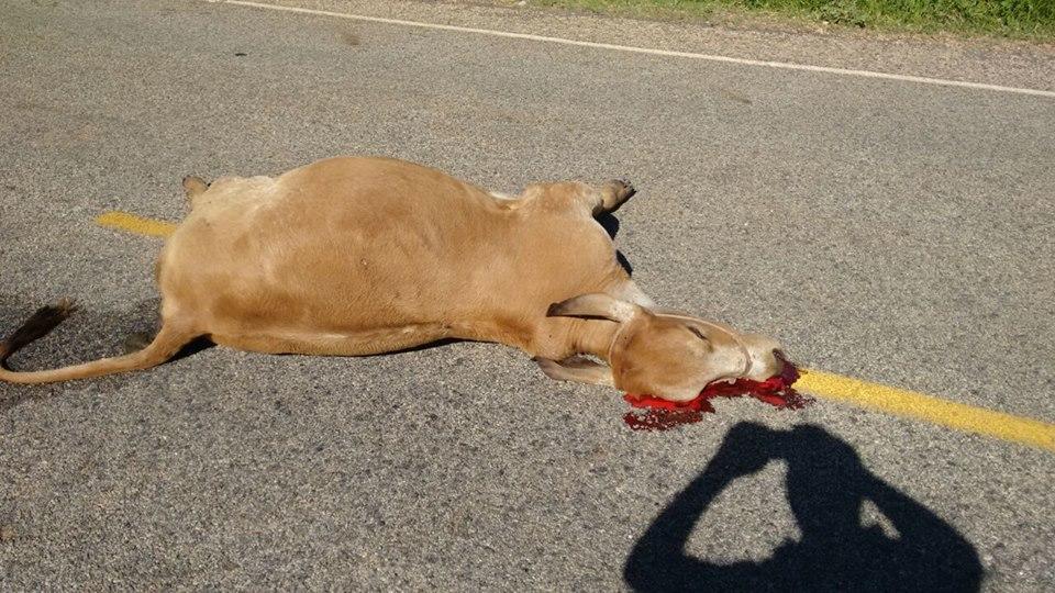 12963725_835943116517537_6045792324037456893_n Exclusivo: Monteirense colide carro contra uma vaca em rodovia da PB