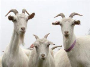 26082016084614-300x225 Leilão de caprinos e ovinos acontece neste sábado, no Cariri