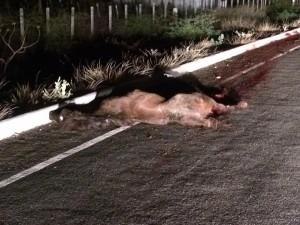 14344357_1069103903197330_1469732967106961246_n-300x225 Animal provoca mais um acidente na estrada de São José dos Cordeiros