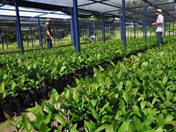 17244936280003622710000 Produção de 10 mil mudas de caju na PB gera renda a agricultores durante seca