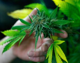 maconha2-310x245 Anvisa aprova registro de remédio à base de Cannabis pela 1ª vez no Brasil