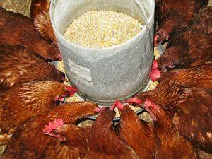 criação-de-frango-caipira-ração-blog-300x225 Projeto universitário de avicultura produz frango até 30% mais barato