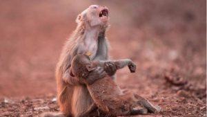 macaco-300x169-300x169 Macaca 'chorando' ao socorrer filhote comove