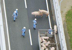 pigs-300x210 Porcos 'se animam' após acidente com caminhão