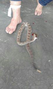 cascavel_que_atacou_o_vereador-180x300 Vereador que matou cobra 'no dente' fica magoado com brincadeiras da internet