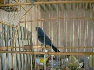 hqdefault-300x225 Polícia apreende 76 pássaros que estavam em cativeiro no município da Prata