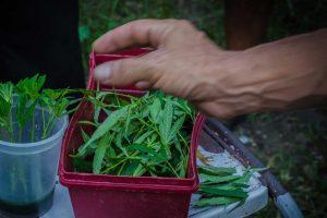 cannabis-300x200 Congresso do Paraguai legaliza plantio de maconha