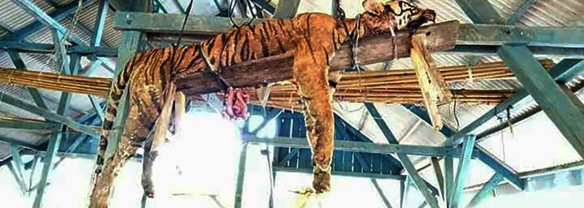 000-11x9tu Tigre é morto e amarrado em tábua de madeira