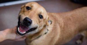 Cachorro-vira-lata-480x250-300x156 Grupo promove feira de adoções de animais neste sábado em João Pessoa