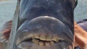 naom_5af6d29392188-300x169 Peixe com 'dentes humanos' é capturado nos EUA