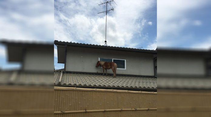 cavalo-1-696x389 Égua sumida por 3 dias depois de enchente é encontrada em telhado