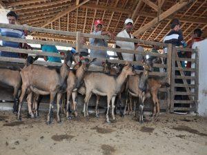 Emater-promove-dia-de-campo-sobre-caprinos-para-200-agricultores-apoiados-pelo-Procase-6-300x225 Emater promove dia de campo sobre caprinos para agricultores apoiados pelo Procase