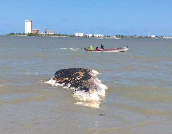 1544215743928-baleia Baleia é encontrada morta em praia da Grande João Pessoa