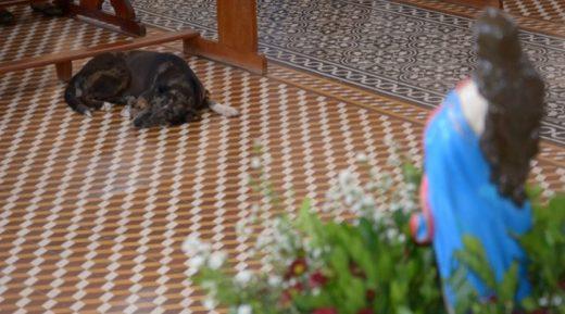 cachorro-520x289 Cachorro acompanha procissão, entra na igreja e se deita aos pés da imagem, em Cajazeiras