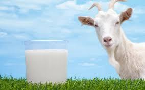 download-5 Paraíba é o estado com maior produção de leite de cabra no Brasil
