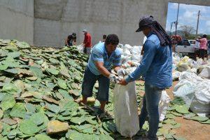 Entrega-das-Palmas-Feira-do-Gado16-300x200 Prefeitura de Monteiro realiza doação de palmas para cooperados da CAPRIBOM