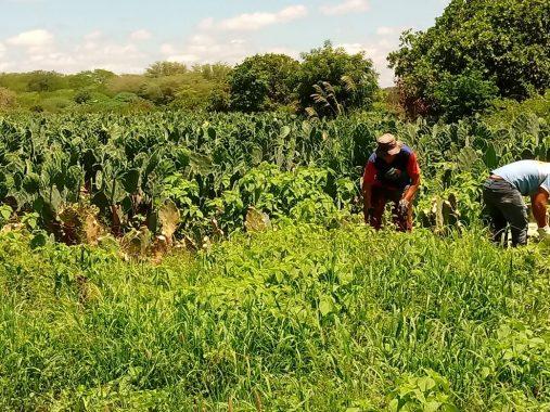 palma-507x380 Secretaria de Agricultura realiza aração de terras e distribuição de mais de 100 mil raquetes de palmas