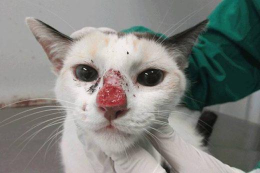 esporotricose-Isabella-Dib-Gremião-Agência-Fapesp-520x346 Surto na PB: Veja orientações para se proteger da esporotricose, conhecida como a doença do gato