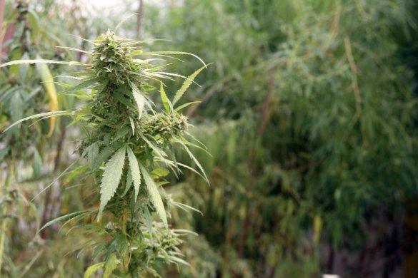 canabis-585x390 Dia estadual de visibilidade da cannabis terapêutica é criado na Paraíba