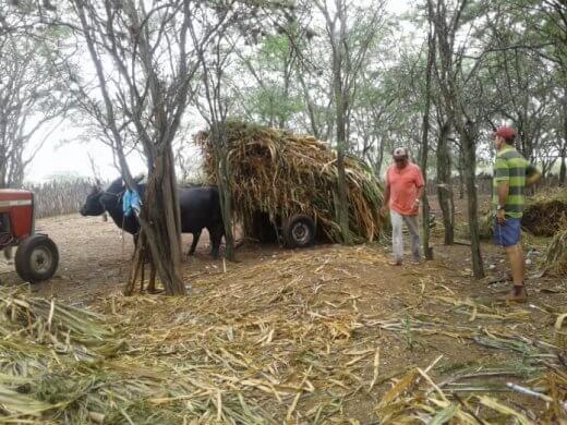 7f1493eb-f3b1-4cc8-a72c-337cde3487ec-696x522-520x390 Prefeitura de Zabelê da suporte a produção de silo para agricultores
