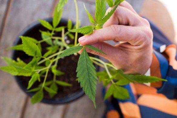 5c33a59d2400003500c36620-585x390 Cannabis medicinal é tema da Diretoria Colegiada da Anvisa nesta terça 15/10