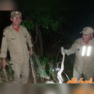 cobra-boi-390x390 Cobra de 2 metros é capturada no momento em que ela engolia animal na Paraíba
