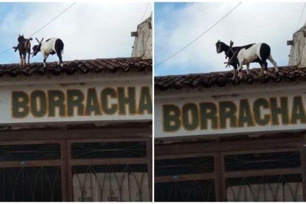 bode-telhado-599x400 Animais são flagrados andando em cima de telhado de borracharia no Sertão