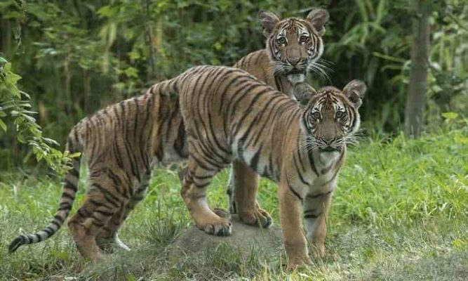 TIGRE01-667x400 Tigre tem teste positivo para coronavírus em zoológico de Nova York
