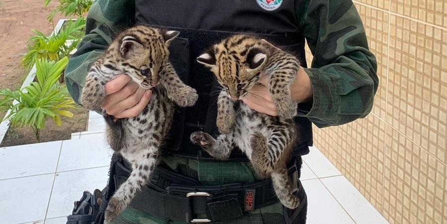 gatos Polícia Ambiental resgata filhotes de gato-do-mato na Paraíba