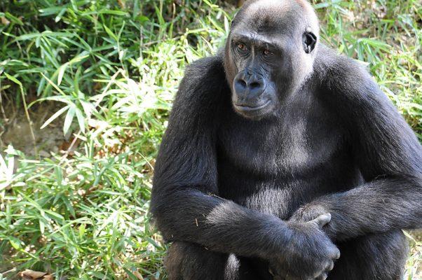 000_9mp42p-9415352-602x400 Treze gorilas têm teste positivo para coronavírus em zoológico nos EUA