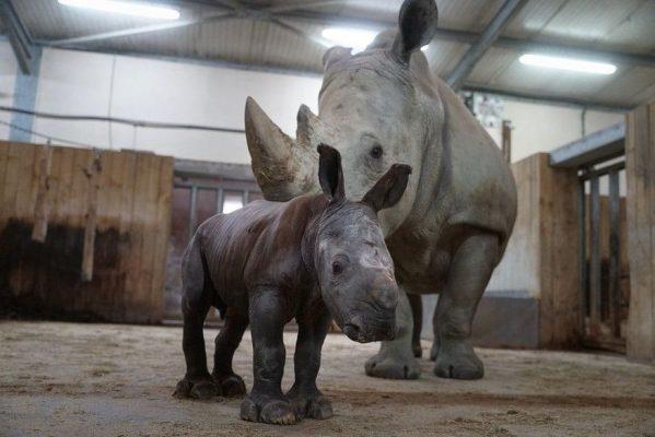 rinoceronte-mosl-tala-599x400 Bebê rinoceronte nasce em zoológico na França